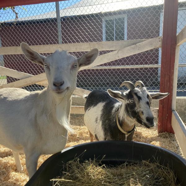 Goats, D Dutchmen Dairy, Sicamous BC